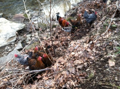 chickens in creek